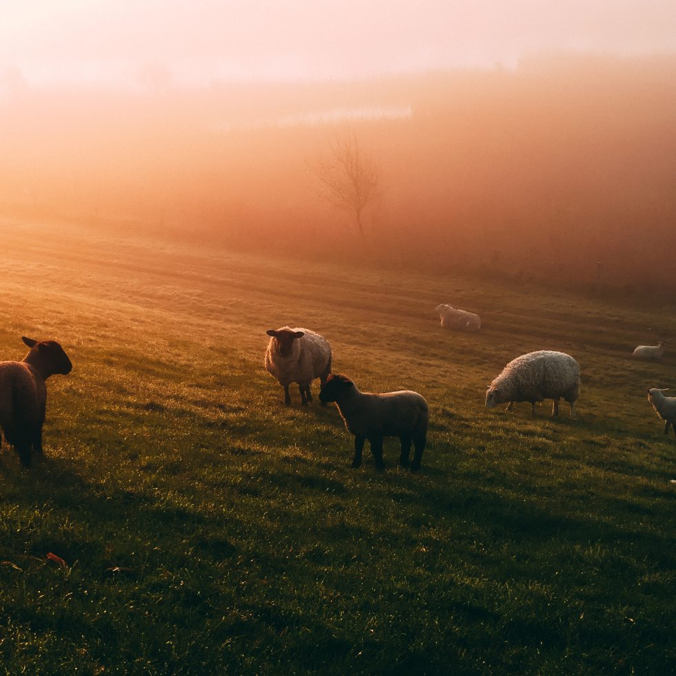 sheep hazy landscape
